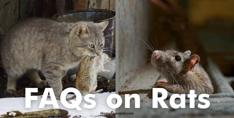 faqs on rats