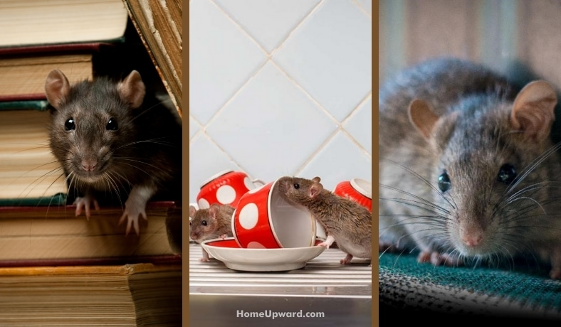 how to keep rats away home remedy ideas that help featured image
