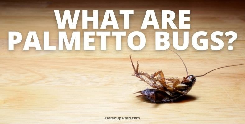 what are palmetto bugs