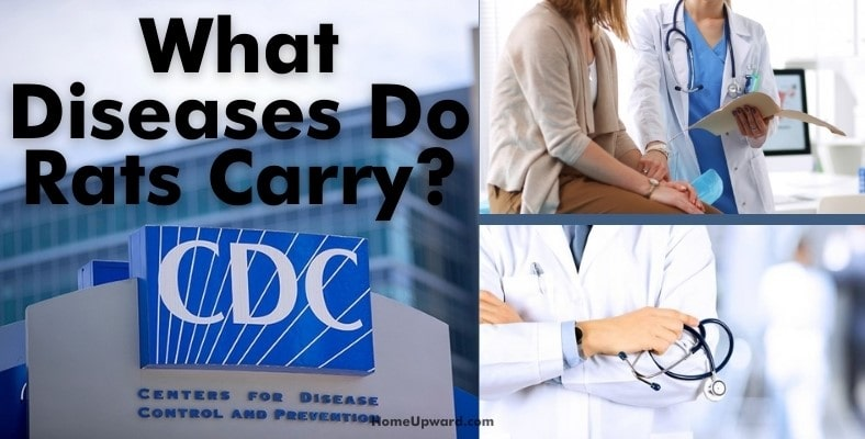 what diseases do rats carry