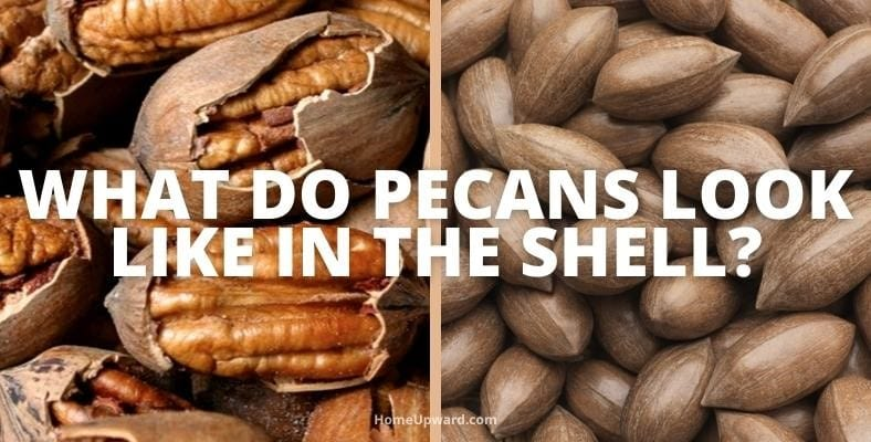what do pecans look like in the shell